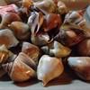 หอยชักบาทา(ตีน)