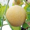 เมล่อนพันธุ์โทมิ (Tomi Melon) สีเหลืองทอง
