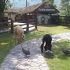 สัตว์บางส่วนจะถูกปล่อยเดิน ให้อาหารได้