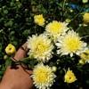 ทุ่งดอกเก๊กฮวย สวนออมบุญ ลำพูน