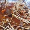 บารมีหมูจุ่มพม่าไม้ละบาท