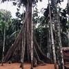 ต้นไม้ยักษ์สมชื่อ ต้นใหญ่มาก