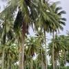 ทางเข้าหมู่บ้านสองข้างทางมีต้นมะพร้าวเยอะค่ะสวย