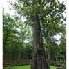 ต้นสักใหญ่อายุ 1,500 ปี