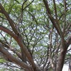 ต้นไม้ใหญ่แผ่กิ่งสาขารายรอบบึง