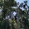 ต้นไม้ยักษ์ 400 ปี บ้านสะนำ