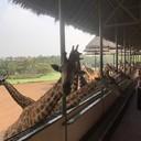 Safari Terrace -- ป้อนอาหารยีราฟ