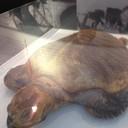 เต่าทะเลสต๊าฟ