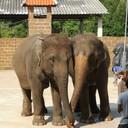 โชว์ช้าง