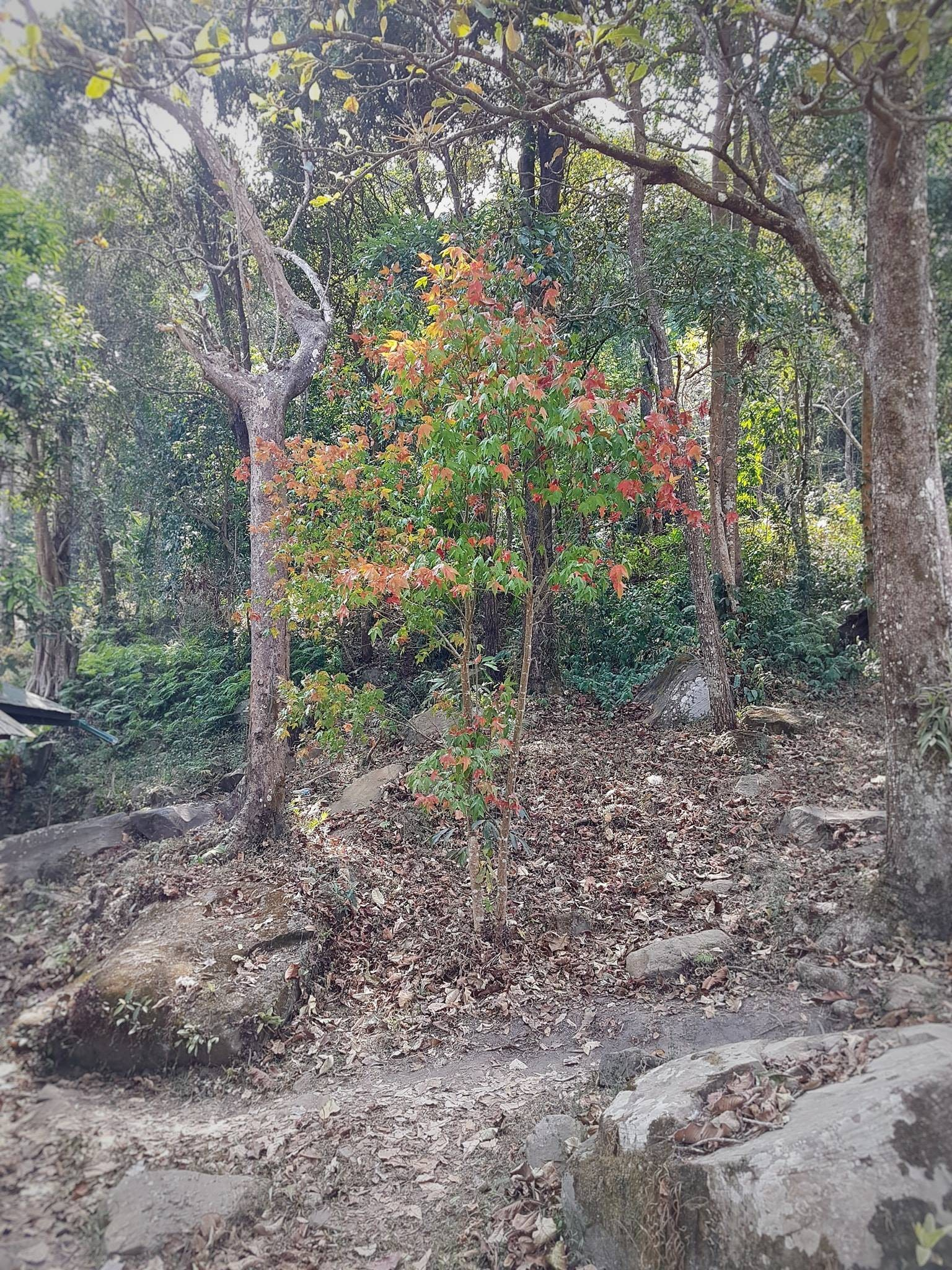 เมเปิ้ลต้นแรกของทริปนี้ @จุดสกัดซำกกโดน
