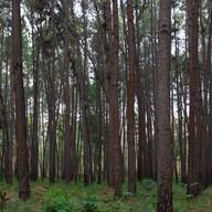 บรรยากาศ ป่าสน ดงลาน ภูผาม่าน
