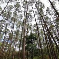 ป่าสน ดงลาน ภูผาม่าน