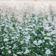 สวนดอก ป้าจวน ลุงใจ๋
