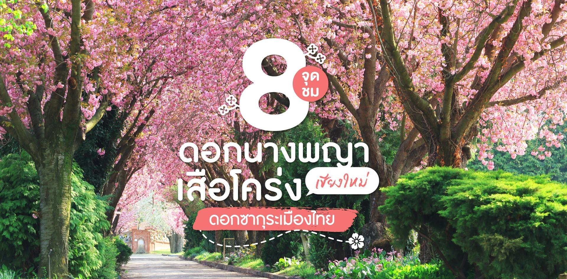 8 จุดชมดอกนางพญาเสือโคร่ง ที่เที่ยวเชียงใหม่ซากุระแห่งเมืองไทย ~