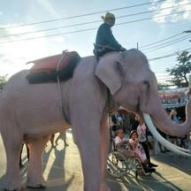 ช้างเผือกเดินรอบเมืองให้พวกเราได้ถ่ายรูปกันด้วยนะ