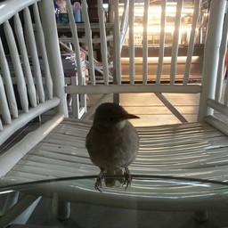 ลูกนก ที่ตกมา ทางร้านเลยเลี้ยงไว้ มันคิดกาแฟ  มันจะมาแอบดูดกาแฟ