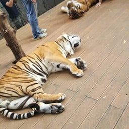 Tiger Kingdom