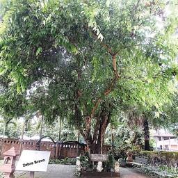 ต้นมะเกว๋น