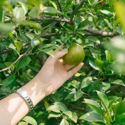 สวนส้มบางมด ผู้ใหญ่ชาติ