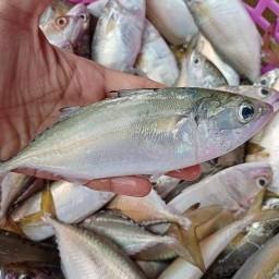 ปลาทู สด