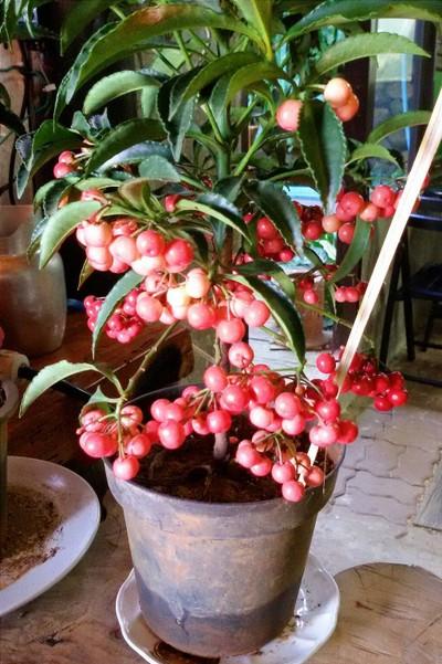 Doa Coffee ศูนย์วิจัยและพัฒนาการเกษตรที่สูงเชียงราย
