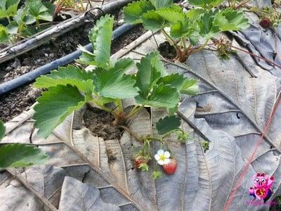 Strawberry Land (สตรอเบอร์รี่แลนด์)