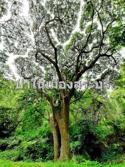 ป่าในเมืองสระบุรี