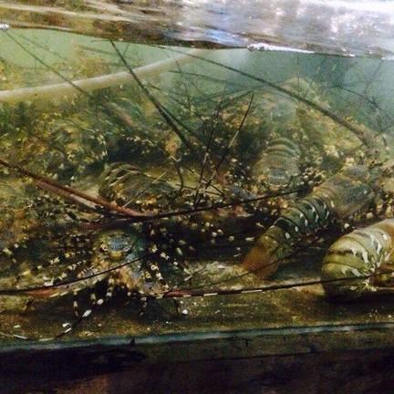 กุ้งมังกรว่ายน้ำ