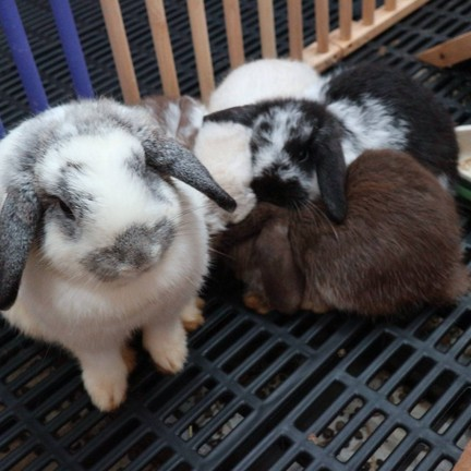 Rabbit Buri