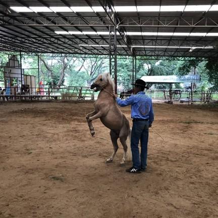 ชมการแสดงของคาวบอยและม้า