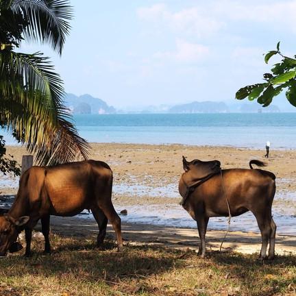 ธรรมชาติสุดๆยังมีการเลี้ยงวัวแบบปล่อยอยู่ริมทะเล ซึ่งค่อยข้างเห็นได้ยาก