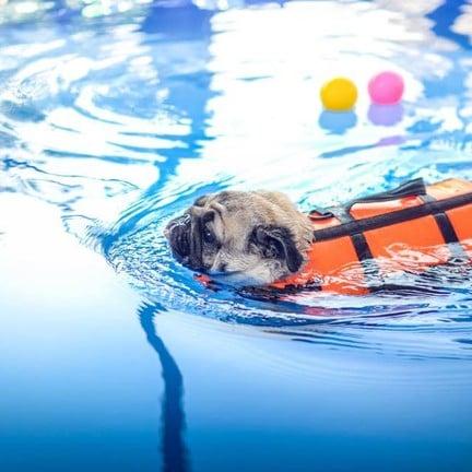 ขอขอบคุณรูปภาพจาก FB Dog Space สระว่ายน้ำ ฝากเลี้ยงสุนัข