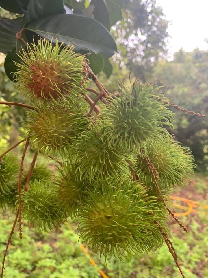 ขอบคุณภาพจากเพจ Facebook : สวนผลไม้ลุงรวย ราชบุรี